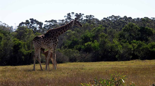 Giraffe at Kragga Kamma Game Reserve